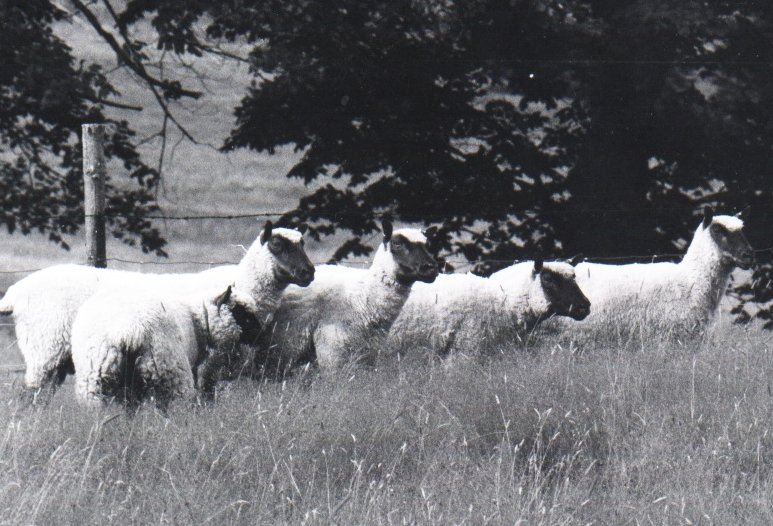 Angus Rouse 1977 Import Ewes and lamb by Angus Rouse