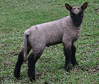 Clun Lamb by Dawn Kundert