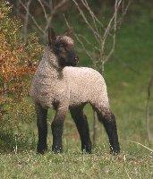 Clun lamb