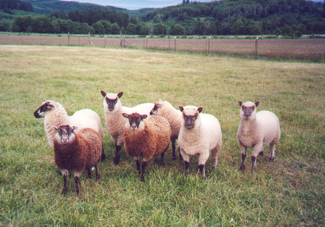 Post image for Clunlands: Clun Forest/Shetland Cross Lambs