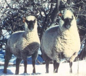 Ewes in Snow by Bets Reedy