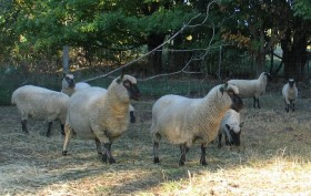 Mary Gloster's Ewes by Alan Zuschlag