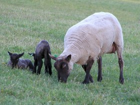 Miracle and Lambs by Mary Gloster