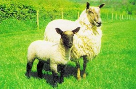 Clun Mule Ewe with Lamb by UK Blue Faced Leicester Breeders'  Assoc.