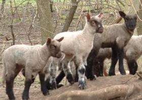 Crossbred Lambs by Joshua Seibel
