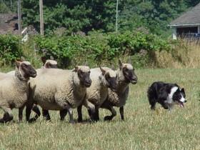 Herding 3 by Cheryl Munson