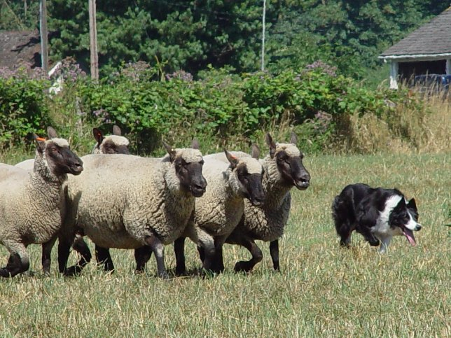 Post image for Herding with Clun Forest Sheep
