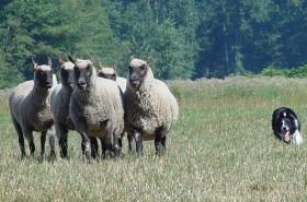 Herding 4 by Cheryl Munson