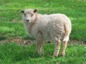 Crossbred Clun lamb by Alan Zuschlag