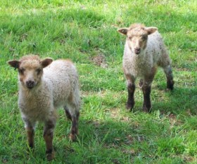 Crossbred lambs by Alan Zuschlag