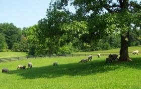 Ewe in Grass by Alan Zuschlag