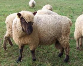 Lamb Fleece by Alan Zuschlag